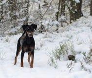 Собака Pinscher Стоковое Изображение RF
