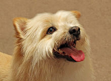 Собака pom родословной Стоковое фото RF