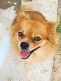 Собака pom Pom Стоковое фото RF