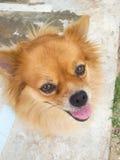 Собака pom Pom Стоковые Изображения