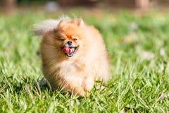 Собака Pomeranian бежать на зеленой траве в саде Стоковые Изображения RF