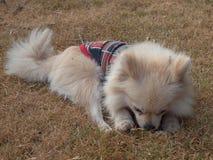 Собака Pomeranian внешняя Стоковые Изображения RF