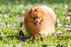 Собака Pomeranian идя на зеленую траву в саде Стоковое фото RF