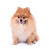 Собака Pomeranian на белой предпосылке стоковое изображение rf
