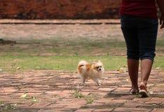 Собака Pomeranian на поле с человеческой ногой стоковые изображения rf