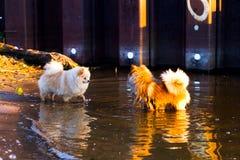 Собака Pomeranian на прогулке Стоковое Изображение RF