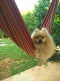 Собака Pomeranian отбрасывает на гамаке в саде Стоковое Изображение RF