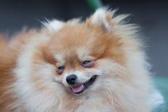Собака Pomeranian, собака портрета крупного плана pomeranian Стоковая Фотография RF