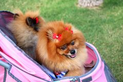 Собака Pomeranian с смычками Стоковые Изображения