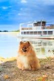 собака pomeranian Стоковая Фотография