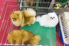 собака pomeranian Стоковые Фото