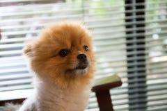 собака pomeranian Стоковые Изображения RF