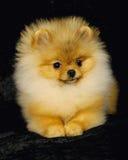 собака pomeranian Стоковые Фотографии RF