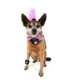 Собака Punker стоковая фотография rf