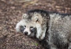 Собака Racoon Стоковые Изображения RF