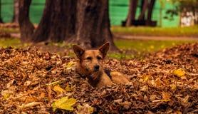 Собака restling в упаденных листьях Стоковое фото RF