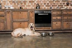Собака Retriever лежа на металлических шарах в кухне Стоковые Изображения RF