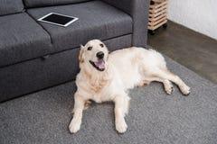 Собака Retriever лежа на поле на софе с цифровой таблеткой Стоковые Фотографии RF