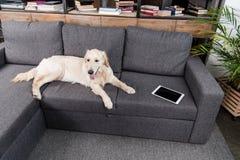 Собака Retriever лежа на серой софе с цифровой таблеткой Стоковые Фото