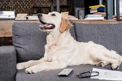 Собака Retriever лежа на софе с дистанционным управлением, газетой и eyeglasses ТВ Стоковые Фотографии RF