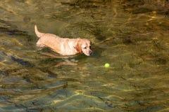 Собака Retriever Лабрадор породы foreground Короткие и светлые волосы стоковые фото