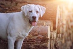 Собака Retriever Лабрадора стоя на некоторых стволах дерева Стоковая Фотография