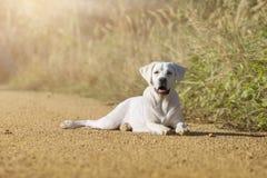 Собака Retriever Лабрадора стоя на некоторых стволах дерева Стоковые Фотографии RF