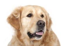 Собака retriever Лабрадор Стоковая Фотография RF