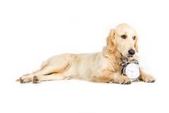 Собака Retriever лежа около будильника, изолированного на белизне Стоковые Фото