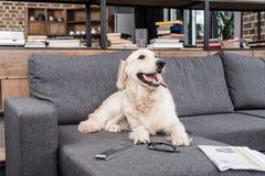 Собака Retriever ослабляя на софе с дистанционным управлением, газетой и eyeglasses ТВ Стоковые Фото