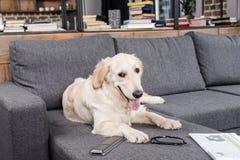 Собака Retriever ослабляя на софе с дистанционным управлением, газетой и eyeglasses ТВ Стоковые Фотографии RF