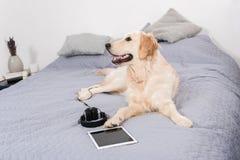 Собака Retriever при наушники и цифровая таблетка лежа на кровати Стоковое фото RF