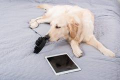 Собака Retriever при наушники и цифровая таблетка лежа на кровати Стоковые Изображения