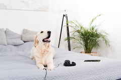 Собака Retriever при наушники и цифровая таблетка лежа на кровати Стоковое Изображение