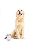 Собака Retriever сидя около изолированного будильника, на белизне Стоковые Фотографии RF