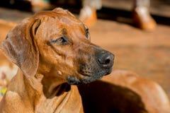 Собака Rhodesian Стоковое Изображение RF