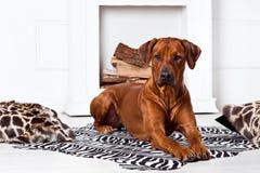 Собака Rhodesian Ridgeback лежа на ковре зебры Стоковые Изображения