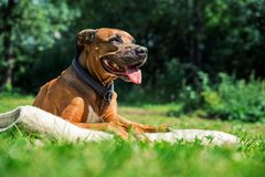 Собака ridgeback Брауна лежа на зеленой траве летом стоковое изображение