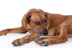 Собака ridgeback Rhodesian мыжская 10 лет крупного плана Стоковое Изображение