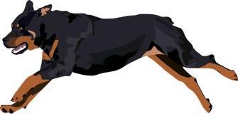 Собака Rottweiler бежит Стоковые Изображения