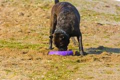 Собака Rottweiler на песке морем играет с игрушкой Стоковое Изображение RF