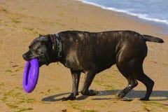 Собака Rottweiler на песке морем играет с игрушкой Стоковые Изображения RF