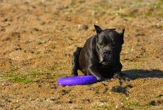 Собака Rottweiler на песке морем играет с игрушкой Стоковые Фото