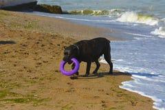 Собака Rottweiler на песке морем играет с игрушкой Стоковая Фотография RF