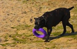 Собака Rottweiler на песке морем играет с игрушкой Стоковые Изображения