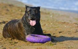 Собака Rottweiler на песке морем играет с игрушкой Стоковое Фото