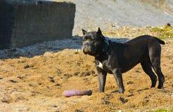 Собака Rottweiler на песке морем играет с игрушкой Стоковое фото RF