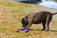 Собака Rottweiler на песке морем играет с игрушкой Стоковая Фотография