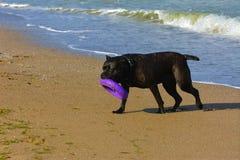 Собака Rottweiler на песке морем играет с игрушкой Стоковые Фотографии RF