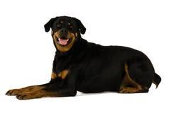 Собака Rottweiler Стоковые Изображения